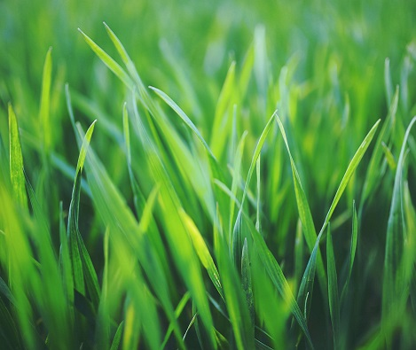 Should I choose turf or artificial grass?